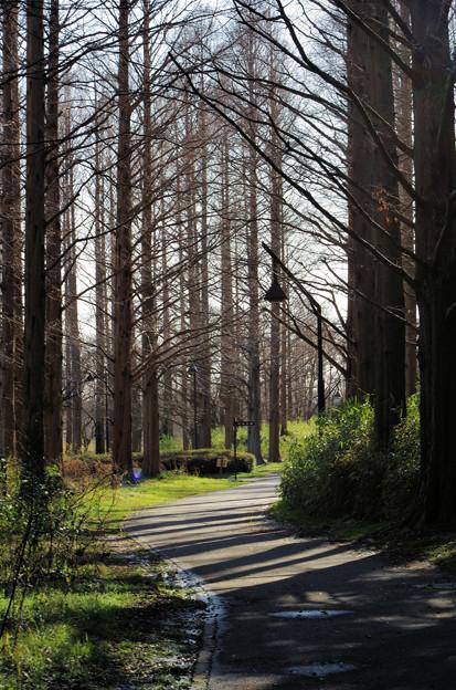 メタセコイヤの森(1)