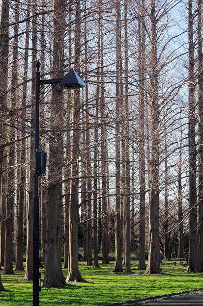 メタセコイヤの森(2)