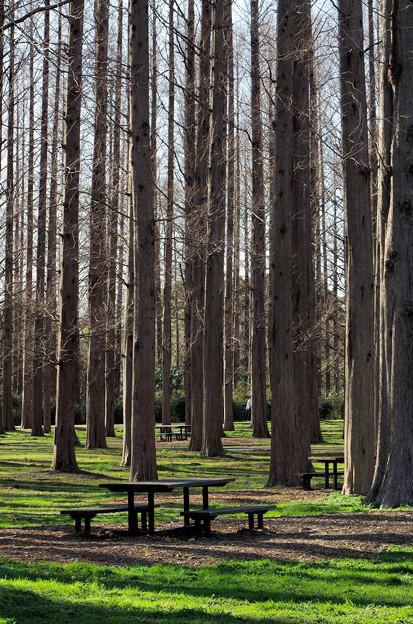 メタセコイヤの森(4)