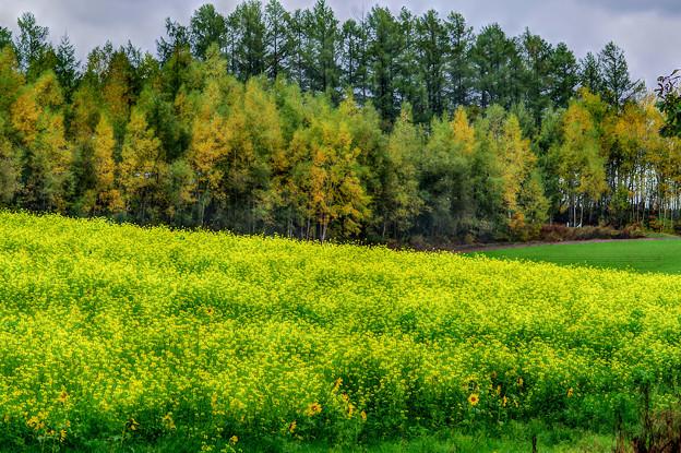 美瑛・黄色の畑2