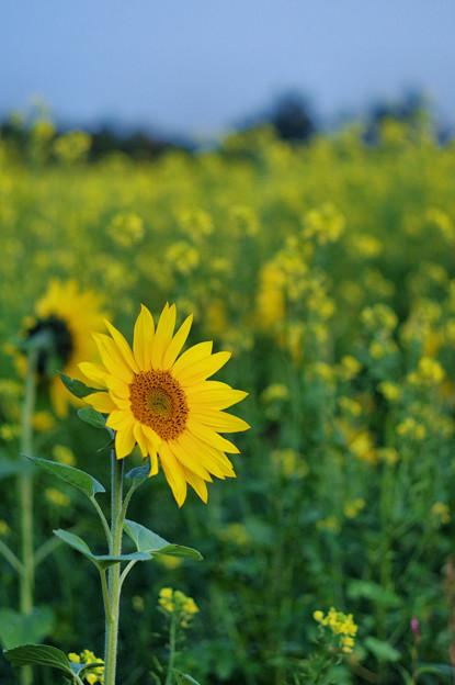 美瑛・黄色の畑3