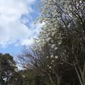 Photos: ハクモクレンが一気に満開・・竹林園