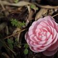 Photos: 落ちても綺麗な乙女椿・・竹林園