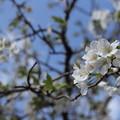 Photos: 大島桜?