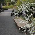 雪柳 (ゆきやなぎ)・・竹林園