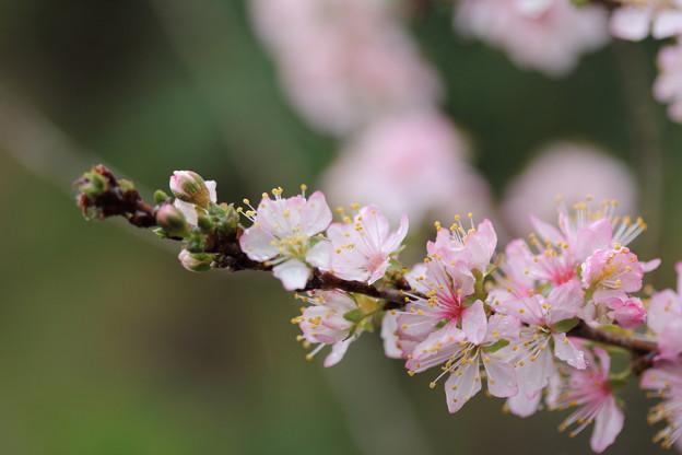 桜??・・遊歩道