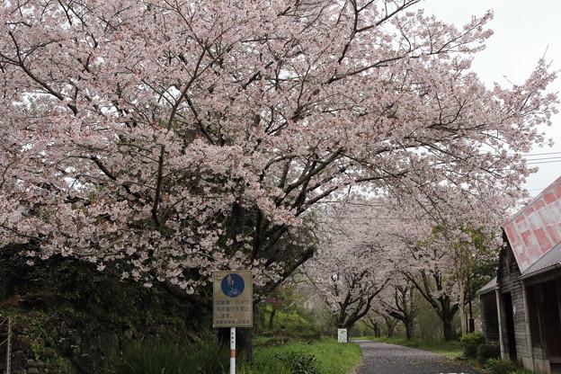 桜満開・・遊歩道(東水俣)
