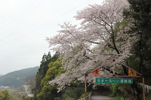 桜満開・・遊歩道