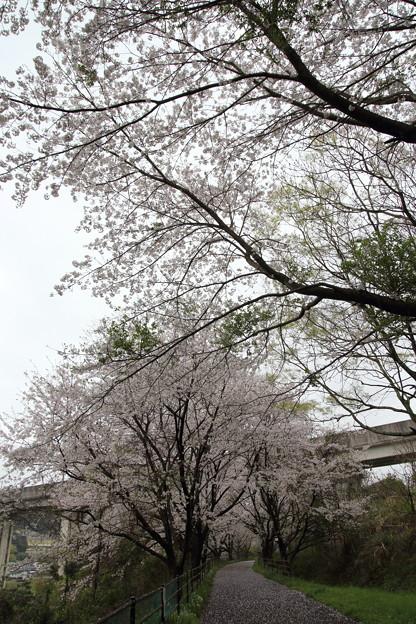 桜満開・・新幹線下付近