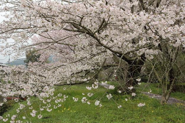 桜、ひざ下まで枝が伸びる・・遊歩道