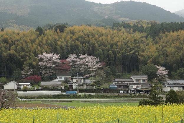 桜と菜の花と