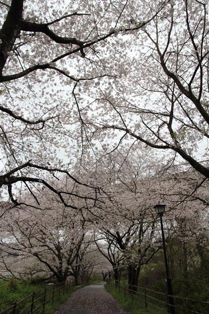 桜満開・・新幹線高架下