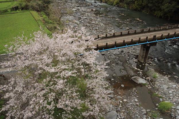 桜満開・・遊歩道(なのはな橋から)