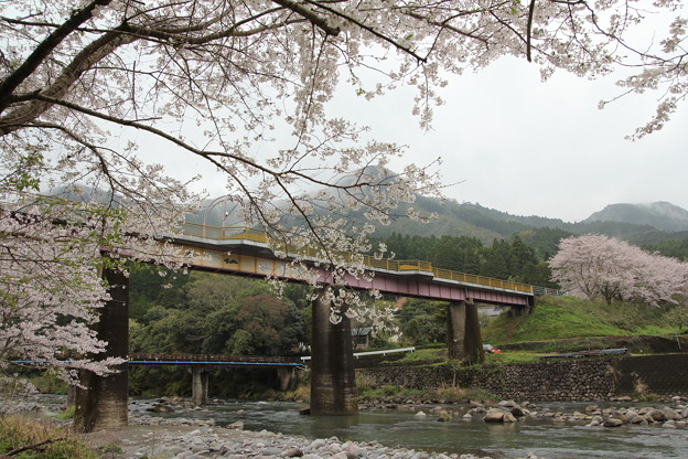 桜満開・・遊歩道(なのはな橋)