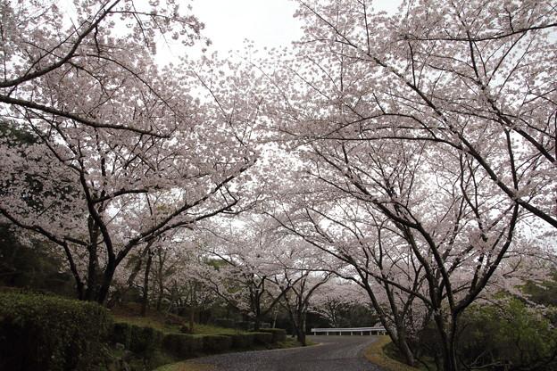 桜満開・・中尾山登山道