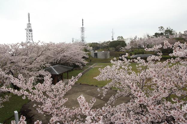 桜・・中尾山公園スカイロードから