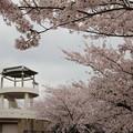 桜満開・・中尾山