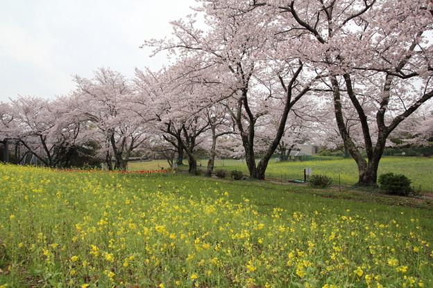 桜と菜の花・・中尾山