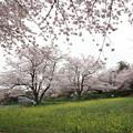 桜・・中尾山公園