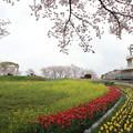 桜とチューリップと菜の花・・中尾山
