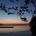 黄昏時の桜・・湯の児