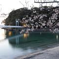 Photos: 桜・・湯の児(ちょっと明るく)