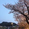 黄昏時の桜・・浜グランド
