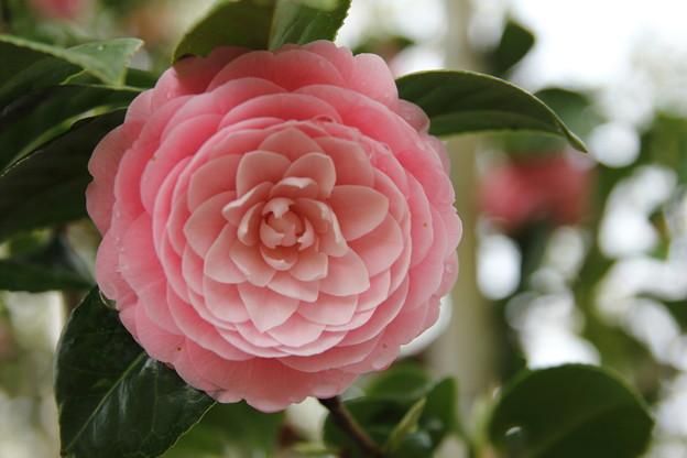 まだ咲いてます乙女椿・・竹林園