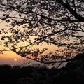 夕日と桜・・湯の児チェリーライン