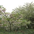 八重桜と御衣黄・・古城