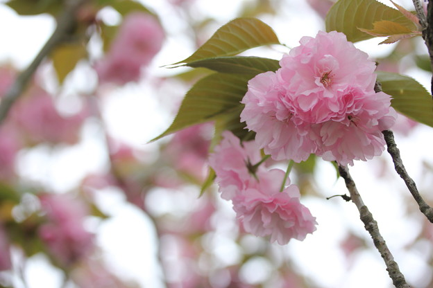 八重桜・・古城