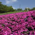 桜の後に芝桜・・中尾山公園