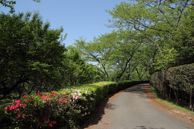 ツツジ・・中尾山登山道