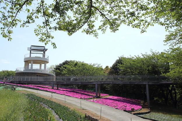芝桜が桜の後に満開・・中尾山