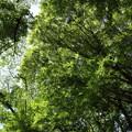 湯出神社の新緑頭上を見上げる