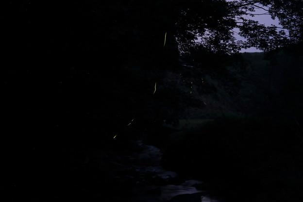 ほたる一匹・・茂川