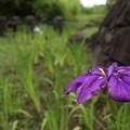 まだ残る花菖蒲・・竹林園