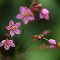 小さい花ハゼラン
