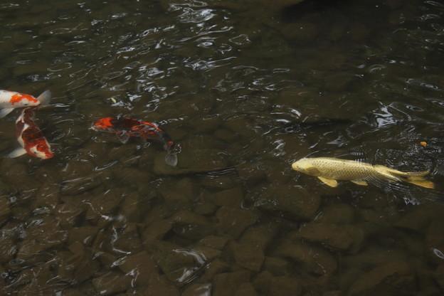 黄金の鯉とにしき鯉・・竹林園