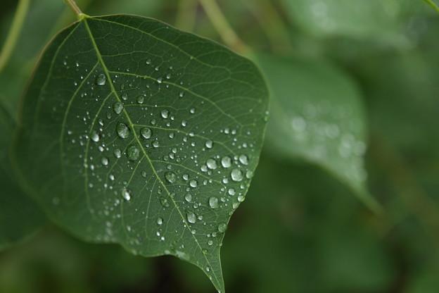 葉の雫・・竹林園