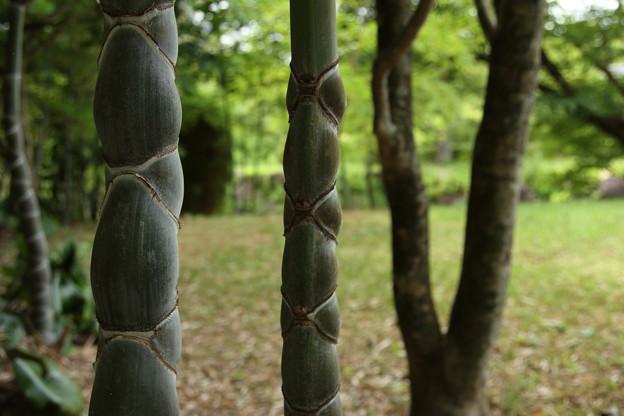 亀甲竹・・竹林園