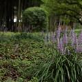 ヤブラン・・竹林園