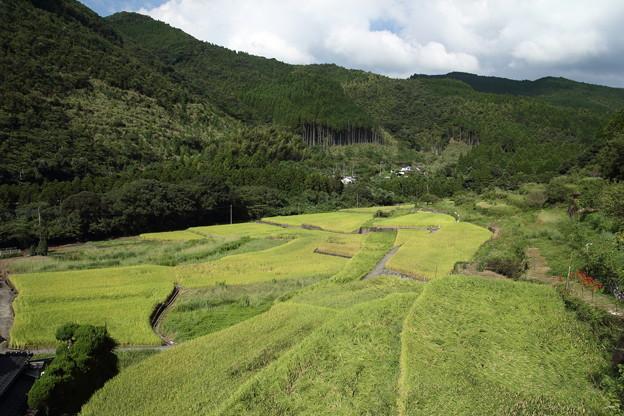 稲が倒れている・・遊歩道(鶴田)