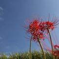 彼岸花と秋の空・・久木野