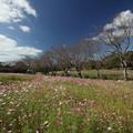 Photos: コスモス・・中尾山