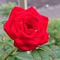 半年後の薔薇