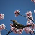 桜とムクドリ
