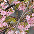 C41A6482 (1)桜メジロ