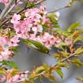 C41A6485 (1)桜メジロ