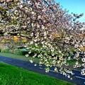 八重桜のつづく道